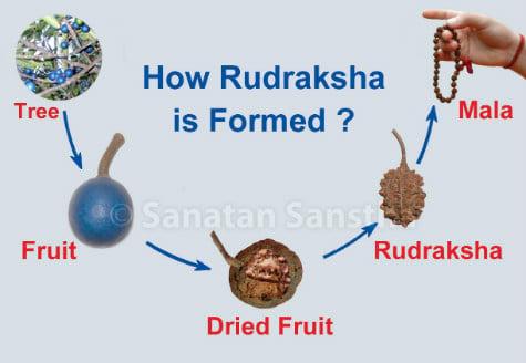 Formation of Rudraksha !