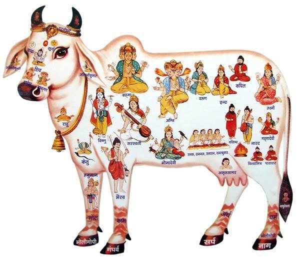 gosala_cow